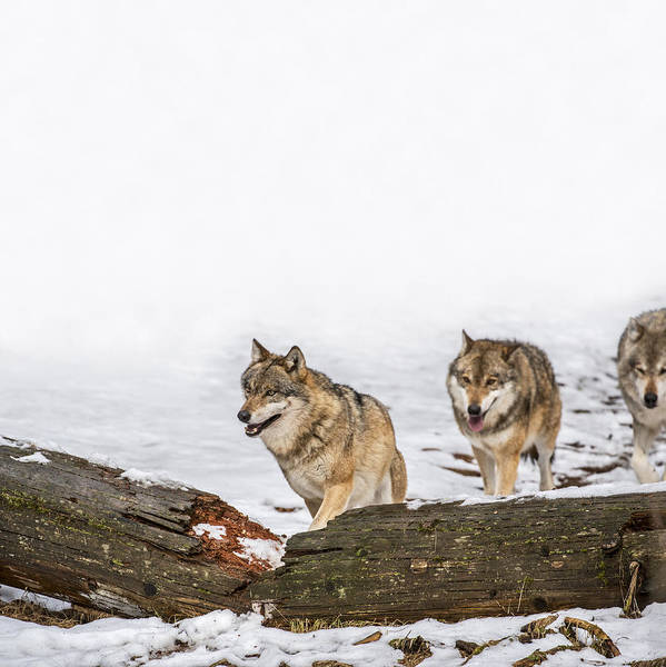 Photograph - Wolf Pack On The Hunt by Arterra Picture Library