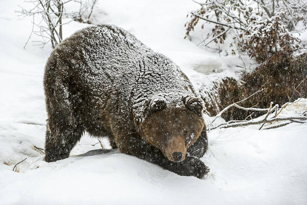 Photograph - Brown Bear In The Snow by Arterra Picture Library
