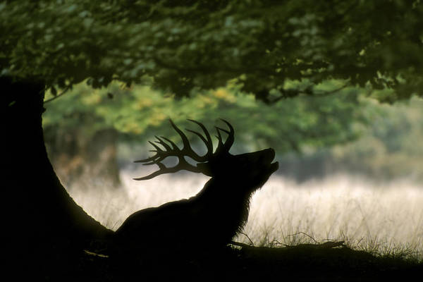 Photograph - Red Deer Stag Bellowing Under Oak Tree by Arterra Picture Library