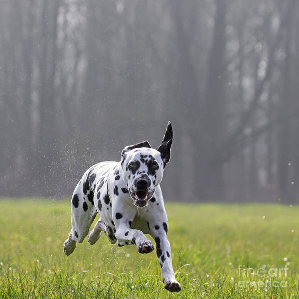 Photograph - Running Dalmatian by Arterra Picture Library
