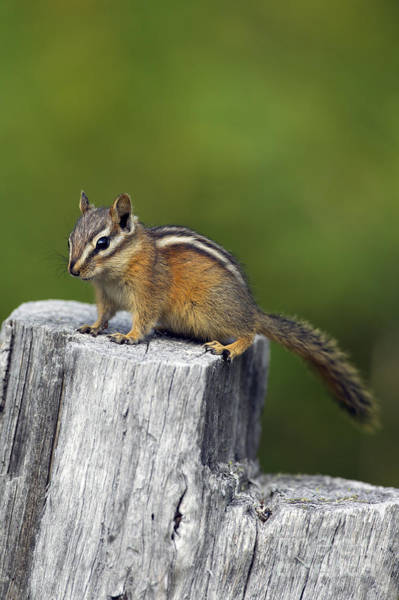 Photograph - Least Chipmunk by Arterra Picture Library