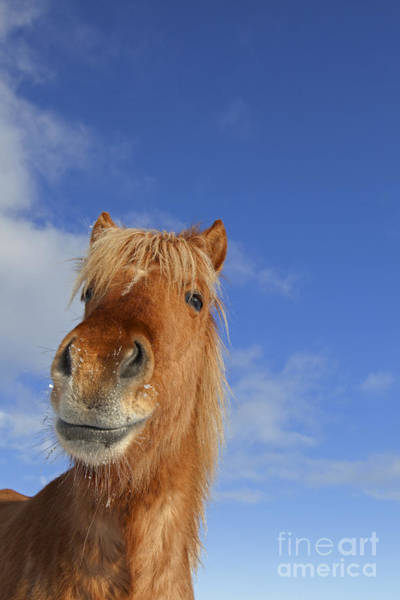 Photograph - Horse, Iceland by Arterra Picture Library