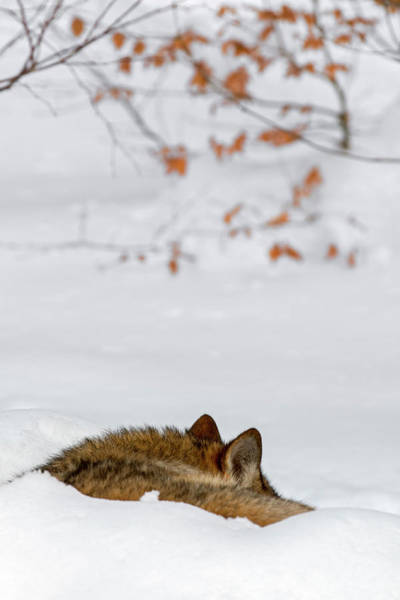 Photograph - Sleeping Wolf by Arterra Picture Library