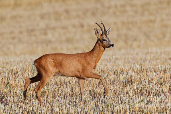 Photograph - Roe Deer In Stubblefield by Arterra Picture Library