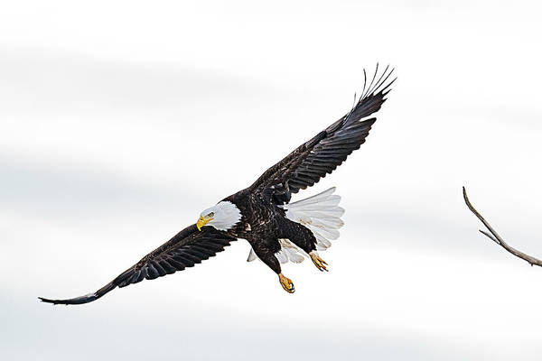 Photograph - Bald Eagle by Norman Hall