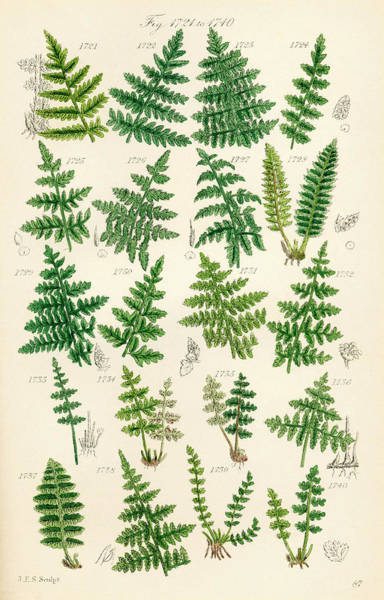 Ferns Drawing - Page Of Colour Illustrations From by Vintage Design Pics