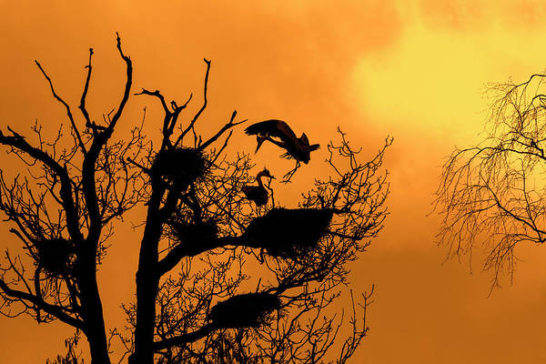 Photograph - Heron Rookery At Sunset by Arterra Picture Library