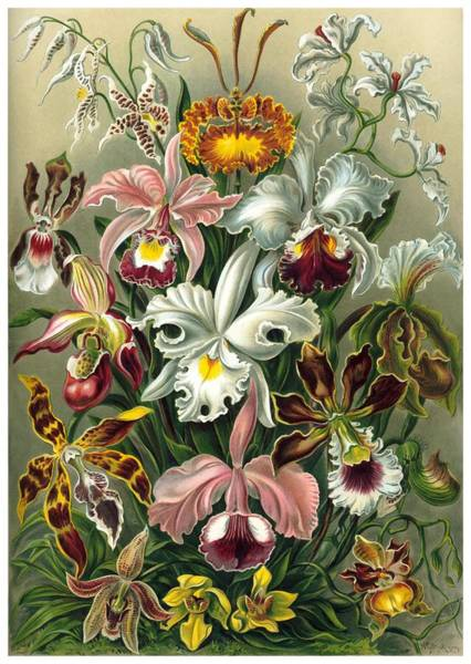 Orchid Digital Art - 1904 Orchids Art Forms Of Nature Print by Retro Graphics