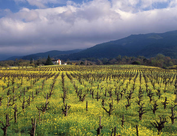 Photograph - 1b6382 Fields Of Mustard In Vineyards by Ed Cooper Photography