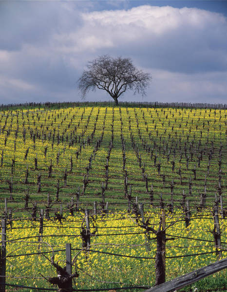 Photograph - 1b6385 Mustard Vineyard And Oak Tree by Ed Cooper Photography