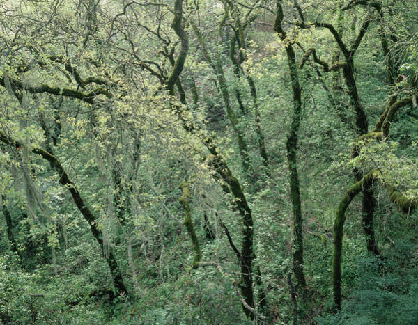 Photograph - 1b6395 Oak Tree Forest by Ed Cooper Photography