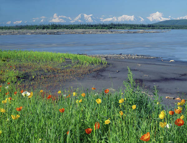 Photograph - 1m1439 Alaska Poppies And Tenana River by Ed Cooper Photography