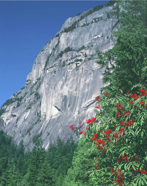 Photograph - 1m2931 Grand Wall Stawamus Chief With Red Elderberry by Ed Cooper Photography