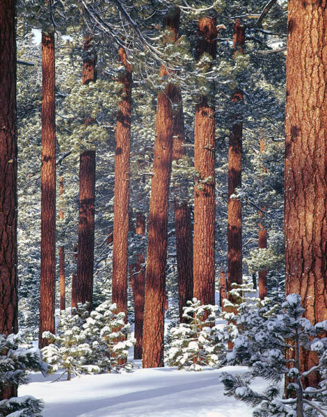 Photograph - 1m6208 Pine Trees In Winter by Ed  Cooper Photography