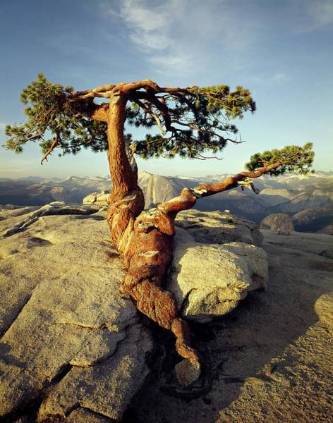 Photograph - 1m6702 Historic Jeffrey Pine Sentinel Dome Yosemite by Ed Cooper Photography