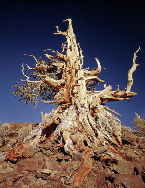 Photograph - 1n6911 Ancient Bristlecone Pine by Ed Cooper Photography