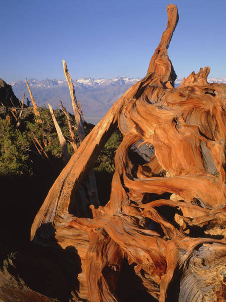 Photograph - 1n6952 Bristlecone Pine Wood In The White Mountains by Ed Cooper Photography