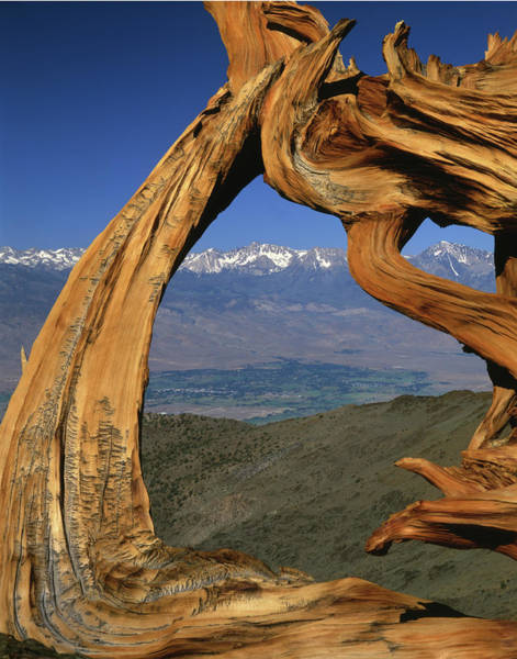 Photograph - 1n6953 Bristlecone Pine Wood And The Sierras by Ed Cooper Photography