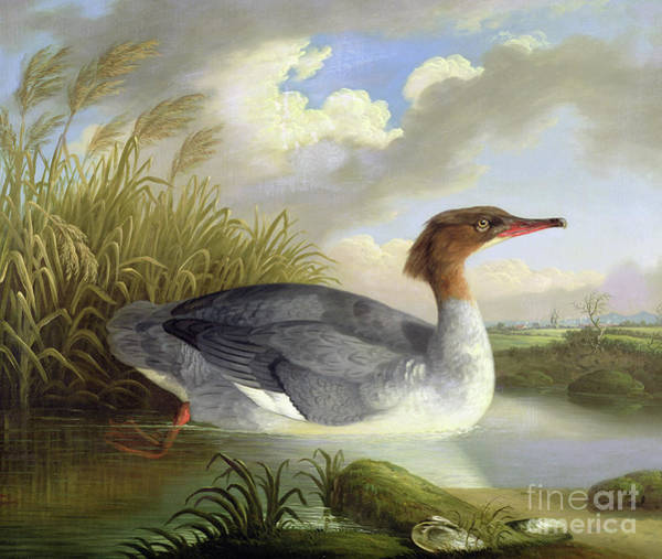 Water Fowl Painting - A Dun Diver  Goosander by Robert Wilkinson Padley