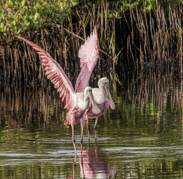 A Pair Of Spoonbills Art Print
