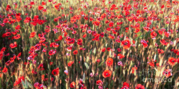 Photograph - A Summer Full Of Poppies by Hannes Cmarits