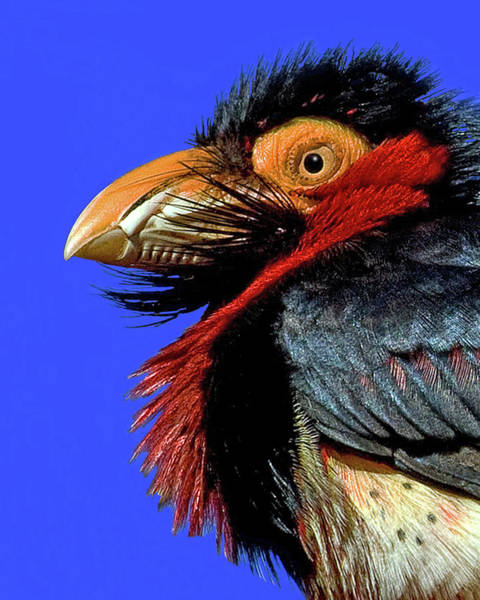 Photograph - African Bearded Barbet by Larry Linton
