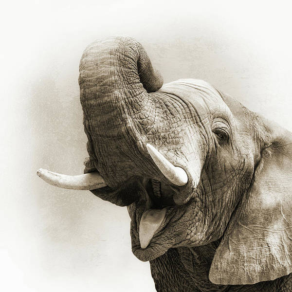 African Elephant Closeup Square Art Print