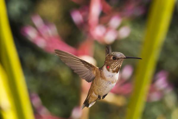 Manual Focus Wall Art - Photograph - Allen's Hummingbird by Mike Herdering