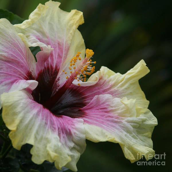 Photograph - Aloha Aloalo Tropical Hibiscus Haiku Maui Hawaii by Sharon Mau