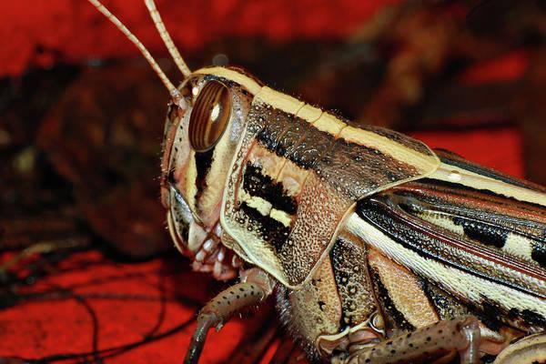 Photograph - American Bird Grasshopper by Larah McElroy