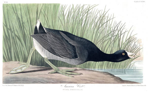 Wall Art - Painting - American Coot by John James Audubon