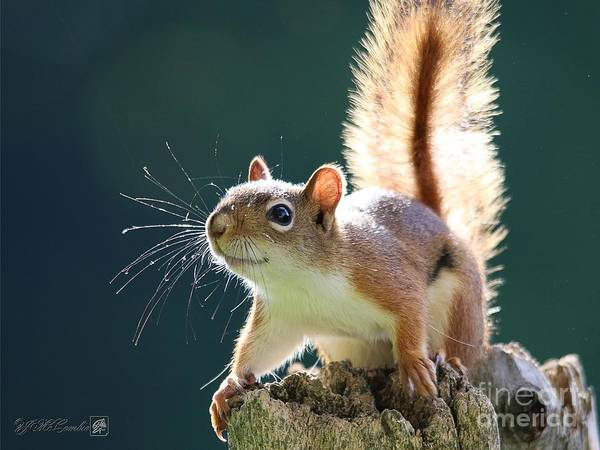 Wall Art - Photograph - American Red Squirrel by J McCombie