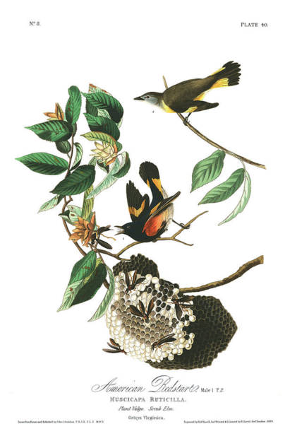 Wall Art - Painting - American Redstart by John James Audubon
