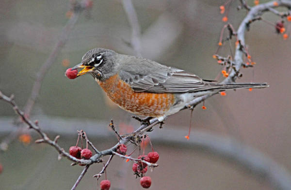 Berries Wall Art - Photograph - American Robin by Gary Wing