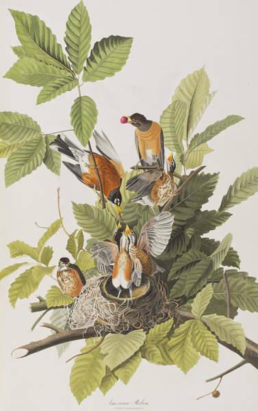 Wall Art - Painting - American Robin by John James Audubon
