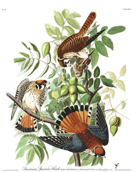 Wall Art - Painting - American Sparrow Hawk by John James Audubon