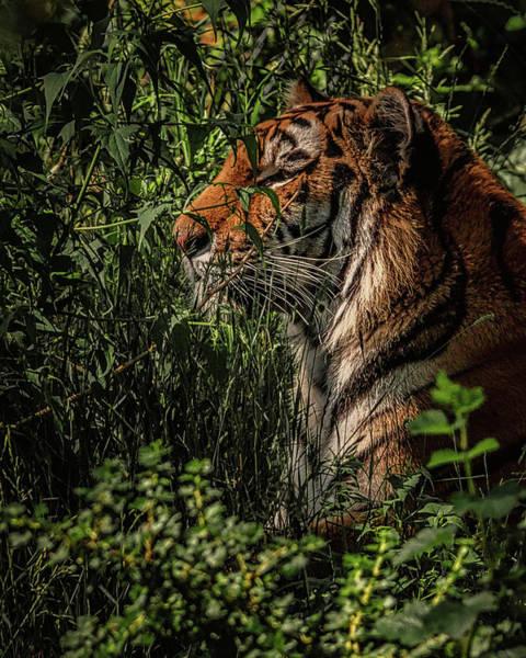 Tigger Wall Art - Photograph - Amur Tiger by Ernie Echols