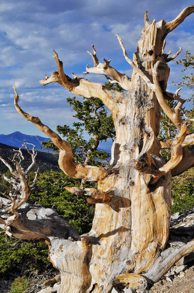 Photograph - Ancient Bristlecone Pine Tree Portrait by Kyle Hanson