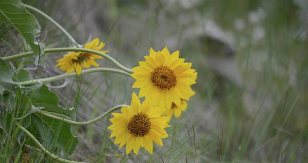 Balsamorhiza Sagittata Photograph - Arrowleaf Balsamroot by Whispering Peaks Photography
