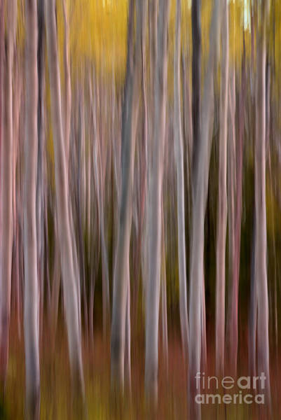 Photograph - Aspens 2 by David Birchall