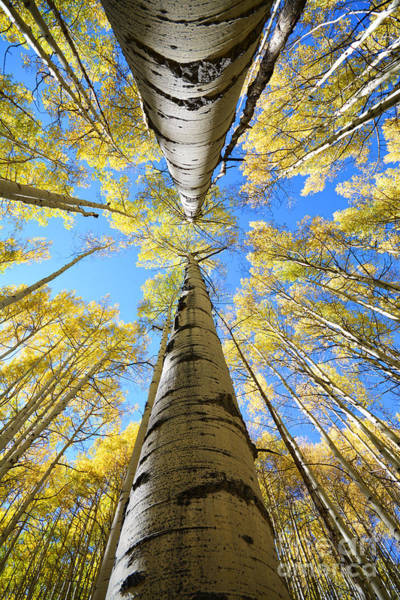 Art Print featuring the photograph Aspens In The Fall by Kate Avery