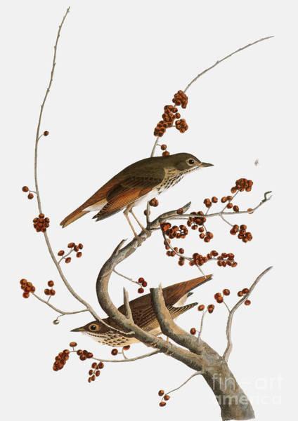 Photograph - Audubon: Thrush by Granger