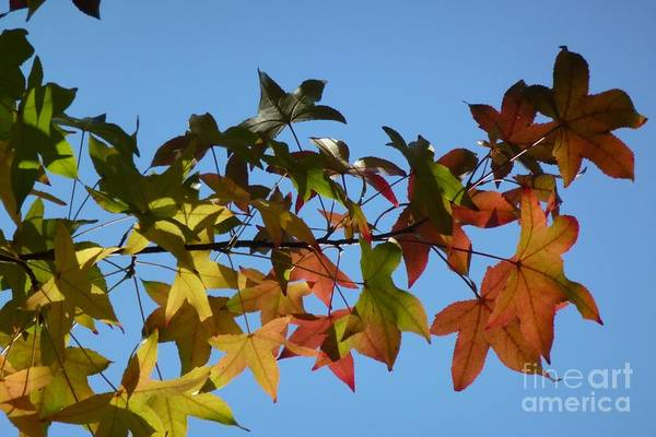Photograph - Autumn Leaves by Jean Bernard Roussilhe