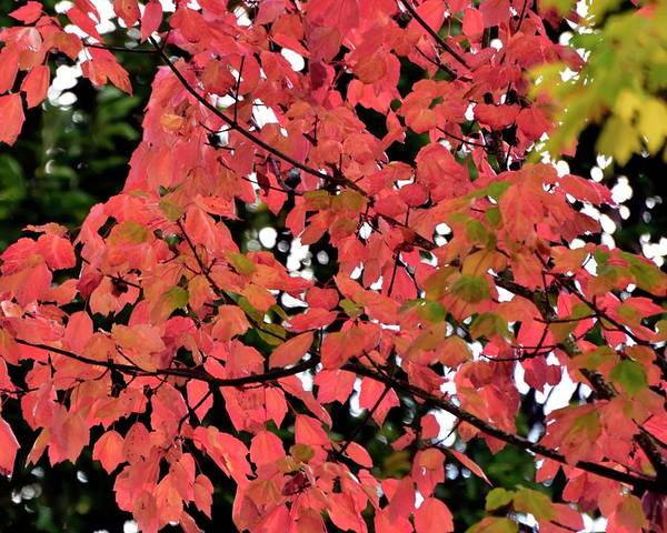 Photograph - Autumn Red by Jerry Sodorff