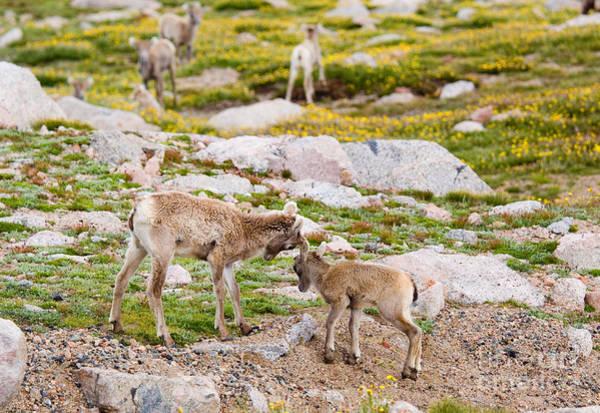 Photograph - Baby Bighorn Sheep by Steve Krull