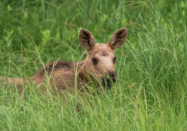 Baby Moose In The Grass Art Print