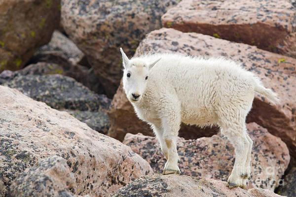 Fourteener Photograph - Baby Mountain Goats On Mount Evans by Steve Krull