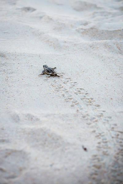 John Hancock Photograph - Baby Sea Turtle by John Hancock