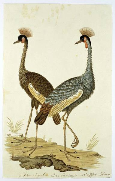 Wall Art - Painting - Balearica Regulorum Grey Crowned Crane, Robert Jacob Gordon, 1777 - 1786 by Robert Jacob Gordon