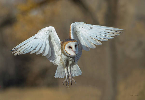 Photograph - Barn Owl In Flight by Judi Dressler